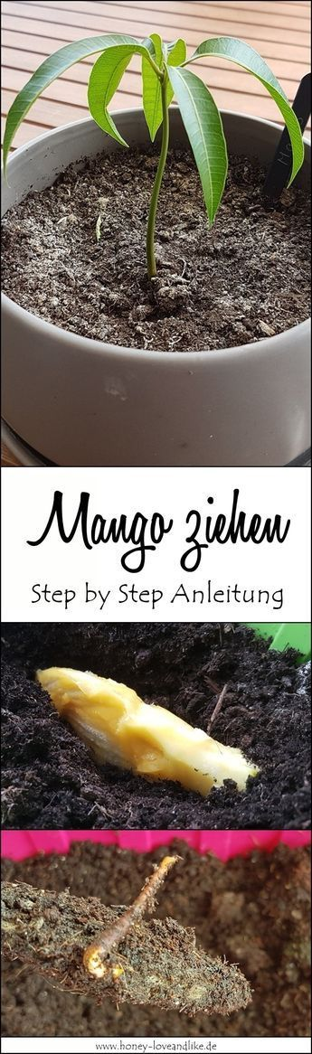 So einfach zieht man eine Mango! Step by Step Anleitung.