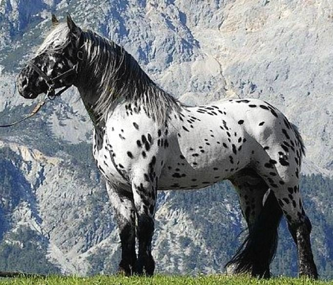 Noriker stallion, Justus Elmar XIV. The leopard complex Norikers - called tiger - usually exhibit the most Baroque influence.
