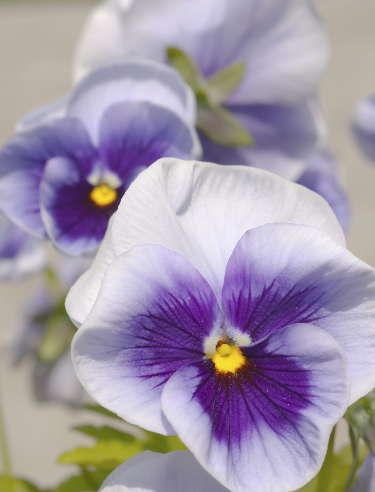 Pansies are cold-hardy plants. They are the perfect annuals because they bloom in late fall, early winter, and early spring. Learn more about this beautiful and delicate plant >>