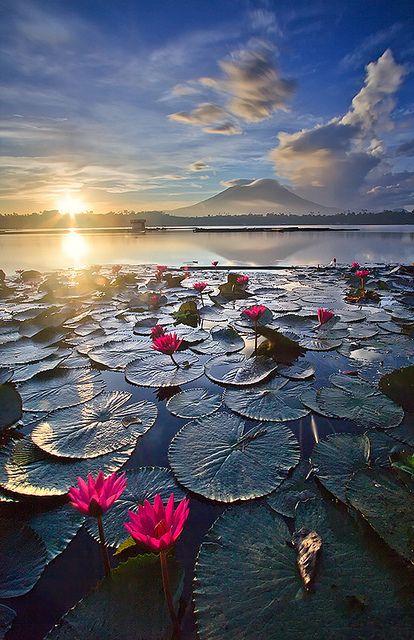 Pink water lilies catch the glow of sunrise in Sampaloc Lake, Laguna, Philippines