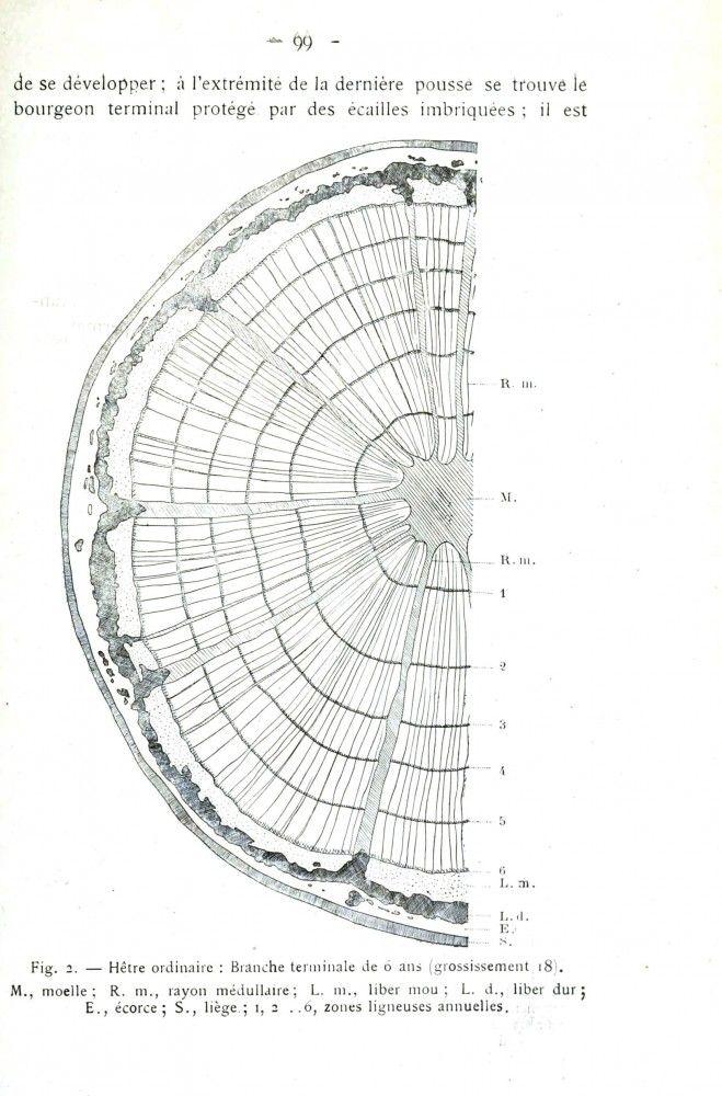 Botanical - Tree - Tree ring diagram