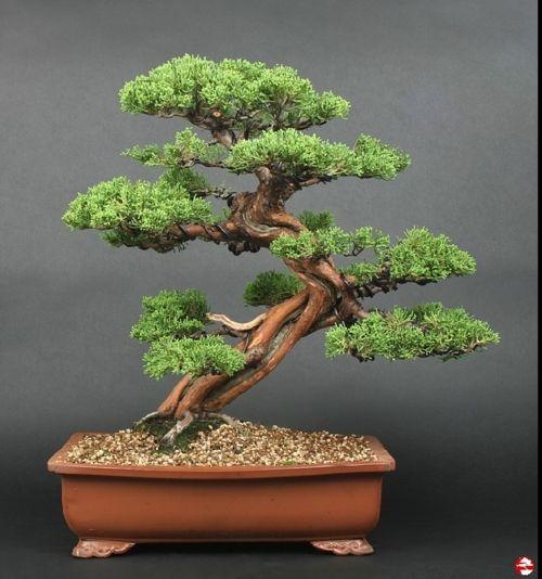 Shimpaku Juniper,  Moyogi style.
