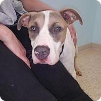 Anatolian Shepherd/Pit Bull Terrier Mix Dog for adoption in New York, New York - Denham