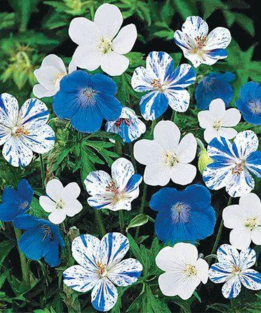 Blue & White Geranium Mix - Set of Five #zulily #zulilyfinds
