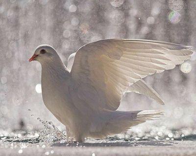 snow white dove