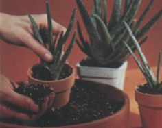 Cuidado de los cactus