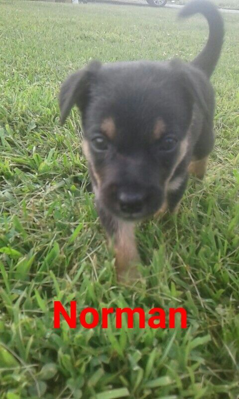 Litter of 9 cattle dog mix Mix puppies for sale in NARVON, PA. ADN-38230 on PuppyFinder.com Gender: Male. Age: 5 Weeks Old
