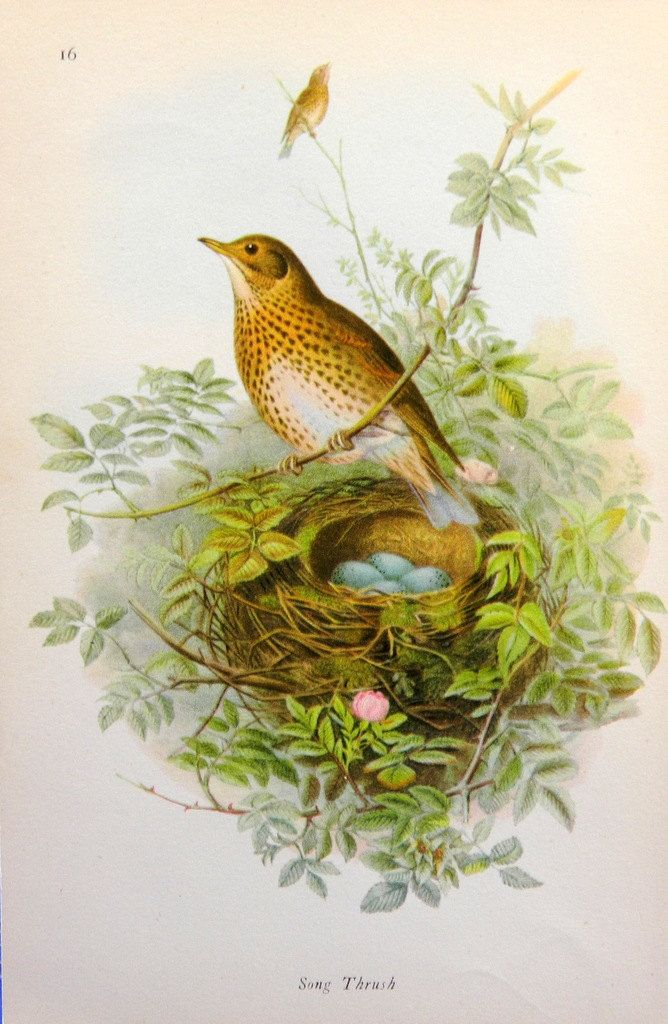 Mistle Thrush, Song Thrush, 1945, Vintage Double Sided Bird Print - 58 by QueeniesCollectibles on Etsy