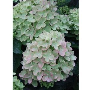 Proven Winners Little Lime ColorChoice Hydrangea 4.5 in. Quart HYDPRC1077800 at The Home Depot - Mobile