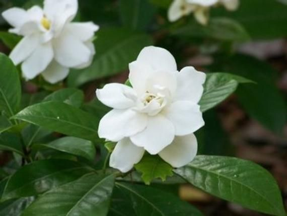 Free Shipping 1oz Natural Gardenia Perfume Oil Gardenia