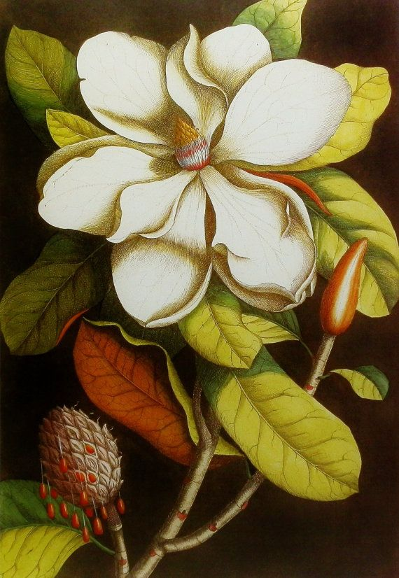 Magnolia Art, Flower Print (Wall Decor to Frame) 18th Century Botanical Illustration, No. 7