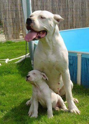 my next dog - Dogo. Great Dane/Pitbull mix!!! LOVE IT Puppies, Animal ...