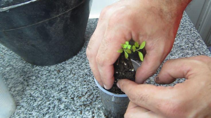 Dia 45 - Transplantamos perejil y lechuga y vemos el avance de los tomates y lechugas transplantadas hace 15 dias.