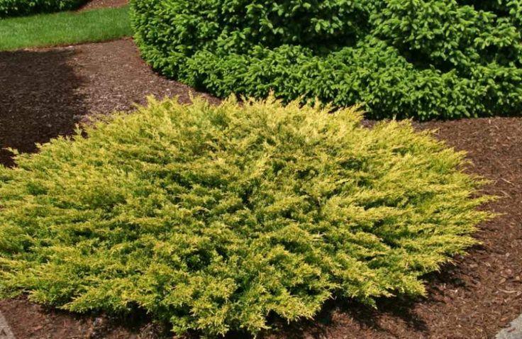 Juniperus horizontalis Limeglow. Aukštis apie 30cm., plotis apie 1m.