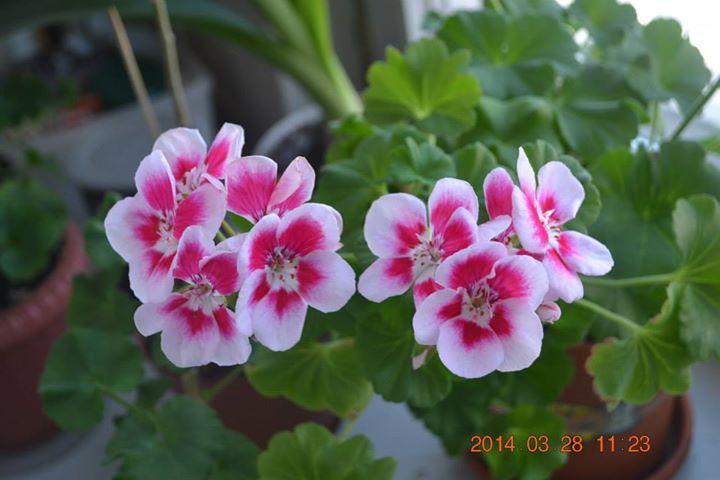 Pelargonium zonale (Пеларгония зональная) / PAC Flower Fairy White Splash