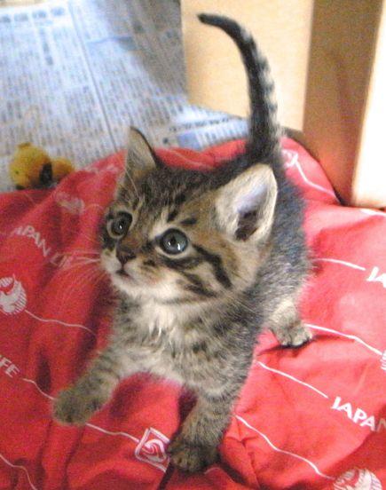 【画像】つぶらな瞳にノックアウトされてます【キジトラ子猫                                                                                                                                                                                 もっと見る