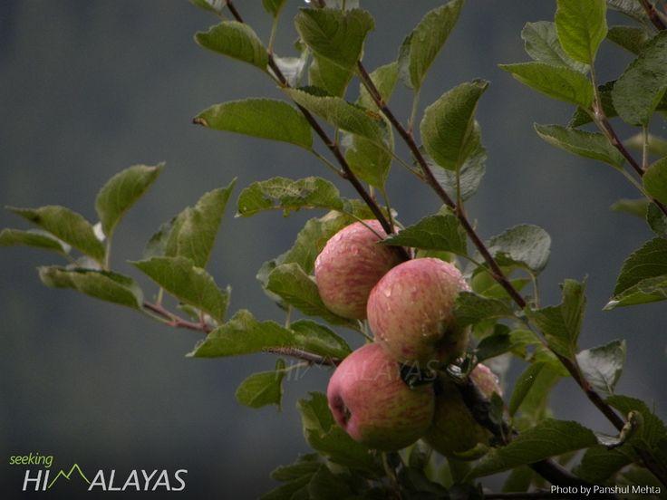 Remembering #Kinnaur #Apple in apple harvesting season  Previously featured as #PhotoOfTHeWeek #6