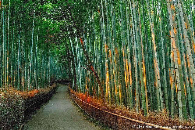 First Light at Sagano Bamboo Grove, Arashiyama, Kyoto, Japan / Ilya Genkin
