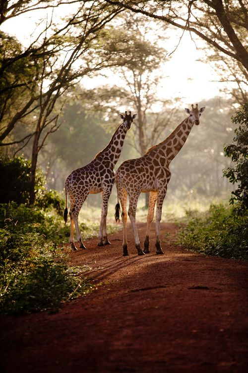 """Giraffes: """"In the Early Morning."""" (Photo By: Freia van Hecke.)"""