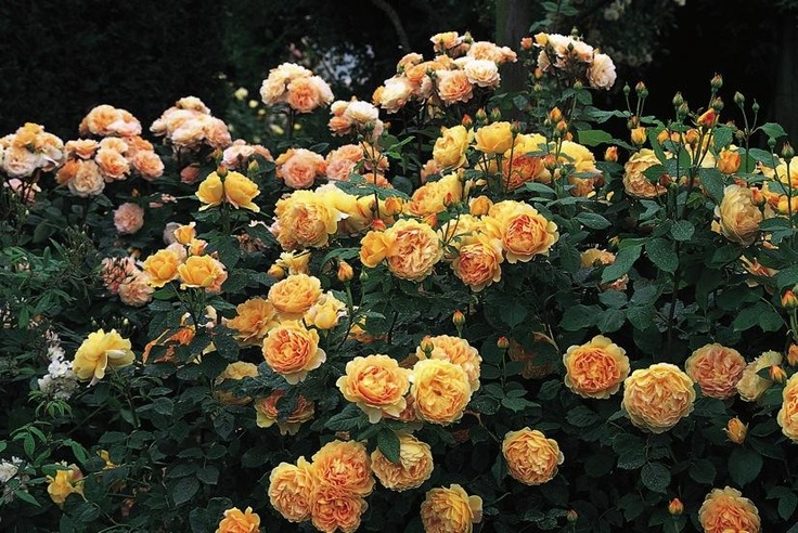 Golden Celebration. 1,2 m. Zon 3. Denna ros är den största blommande gula rosen i serien. Ännu ett bevis på de underbara gula rosorna i Austins stall. Stora bollformade tättfyllda blommor med en gyllenegul nyans som syns på långt håll i trädgården. Den bildar en tätt buske med en fin avrundad form och har något avböjda grenar med ett rikligt bladverk.