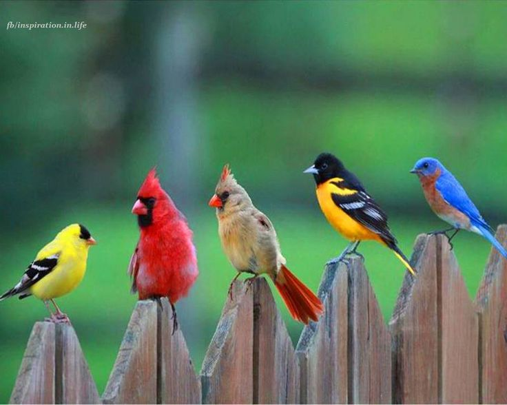 "From-left-to-right: A Goldfinch, A Cardinal Pair, An Oriole, And An Eastern Bluebird: ""Sitting On The Fence."" ♡♡♡♡♡"