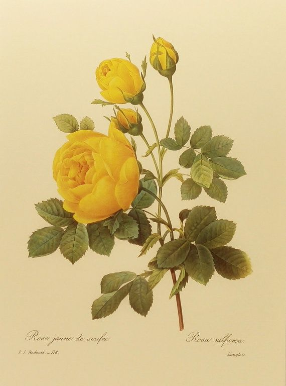 Vintage Redoute Flower PrintYellow Rose Botanical by earlybirdsale