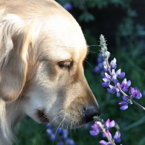 Good Morning SpringLabs, Dogs, Spring Time, Good Mornings And Flower, Stop And Smells The Flower, Furries Friends, Beautiful Creatures, Animal, Golden Retriever