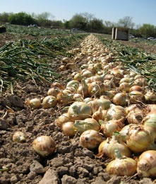 Texas 1015 Sweet Onion, Texas State Vegetable. Or at least the state onion. Should be the state vegetable, at leat I believe so. Grown ONLY in the Rio Grande Valley.