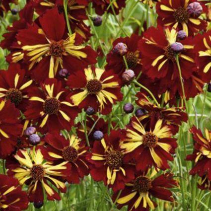 "Suttons Wildlife Sanctuary Coreopsis ""Roulette Mix"" Seeds: Image 3"