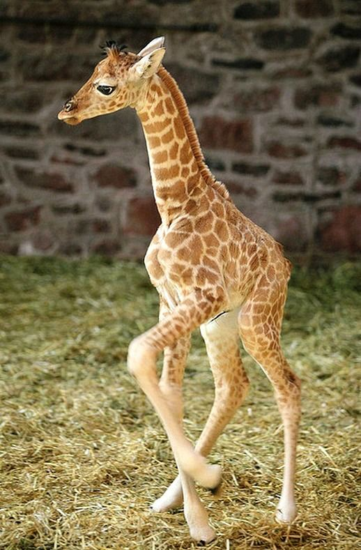 Adorable Rothschild's giraffe (Giraffa camelopardalis rothschildi) calf at Chester Zoo, England. With less than 600 left in the wild in Kenya and Uganda, this is the most endangered of all giraffe species. credit repin to Beulah  Dwyer.