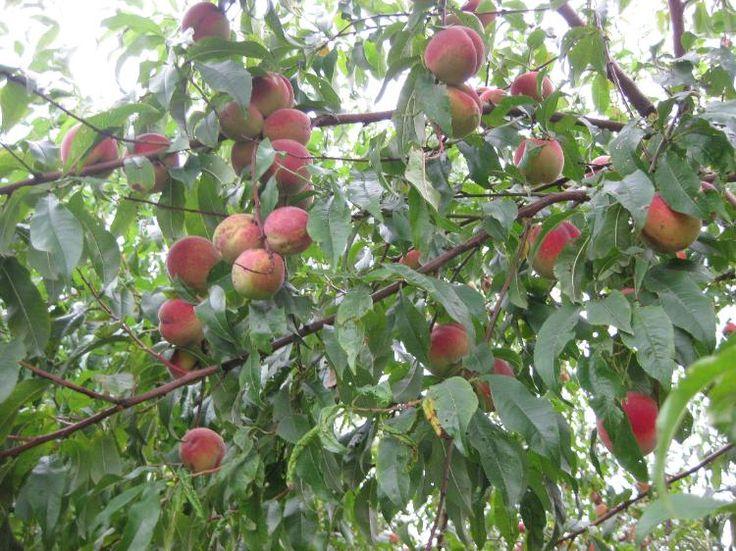 Pfirsiche abzugeben