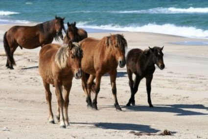 Feral ponies on Sable Island, Canada.