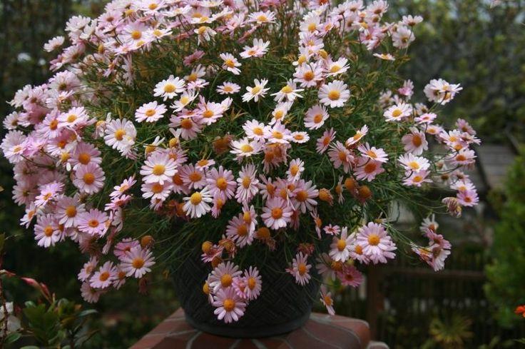 Margeriten im Blumentopf auf der Terrasse