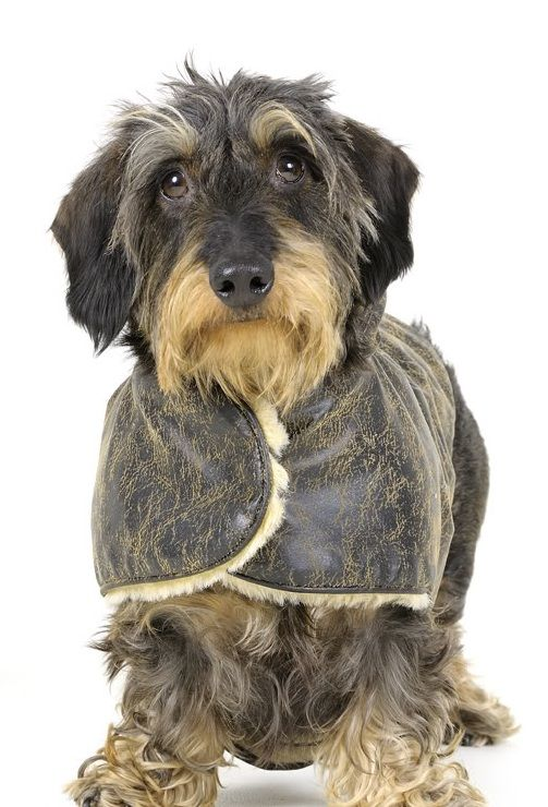Wirehair Dachshund with a winter coat!