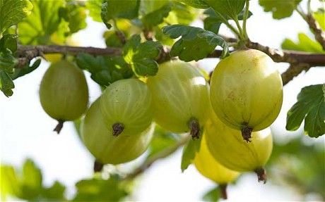 finnish gooseberries - Google Search