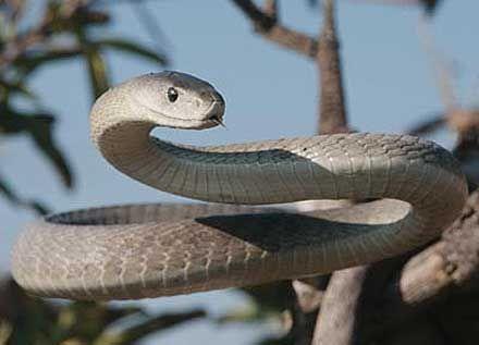 The infamous Black Mamba. My favorite snake. BEWARE!