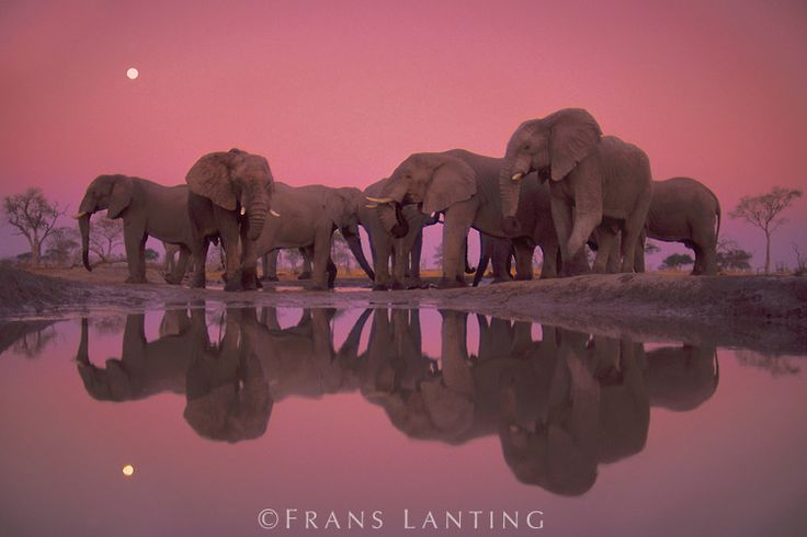 #photographer : Frans Lanting - African elephants at twilight, Loxodonta africana, Chobe National Park, Botswana