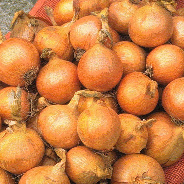 Onion Marco F1 Hybrid Allium Cepa Maincrop Onion Superb For