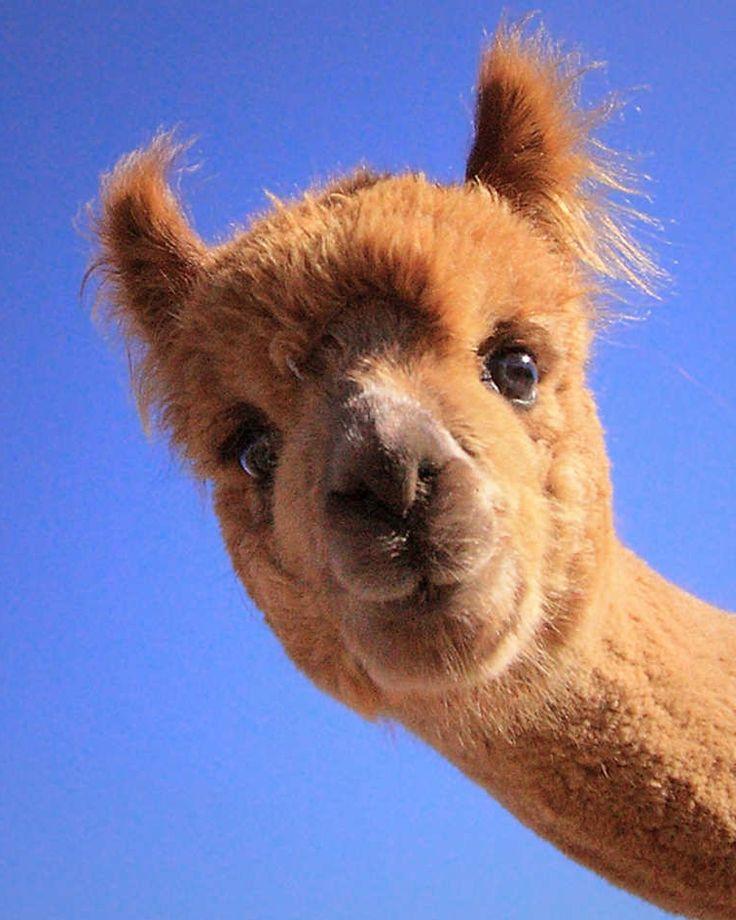 Best 25 Baby Llama Ideas On Pinterest: Best 25+ Cute Llama Ideas On Pinterest