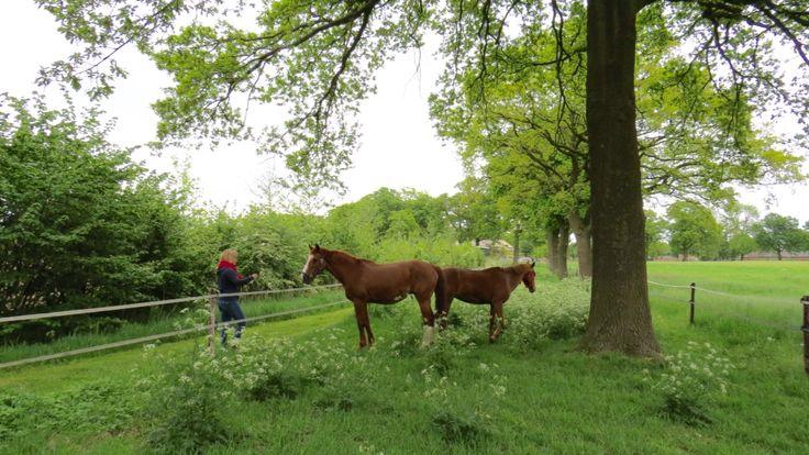 2015-05-14 Paarden onder mooie eiken en tussen het fluitekruid in Elsenerbroek