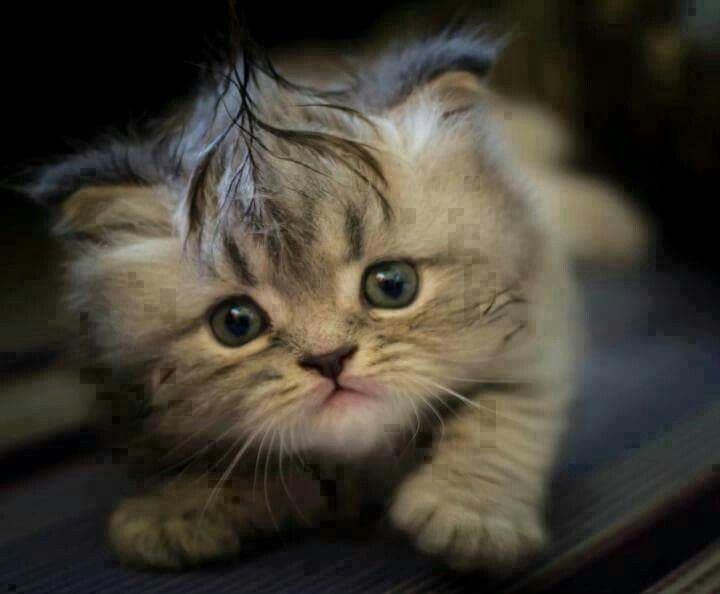 tiny kitten with a mohawk.