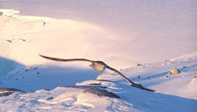 Photo: A giant petrel in flight near Palmer Station, Anvers Island, Antarctica. Photo courtesy of Henry Malmgren, National Science Foundation.