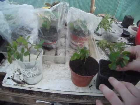 Growing Roses from cuttings is easy and fun, In this video (An upgrade of my older video) I show you 3 different ways to get your cuttings to root, creating a mini greenhouse, water and using a propagator. Propagating them from cuttings is inexpensive and they grow true to the plant you collected the cuttings from!  Check out my Facebook page:  ht...