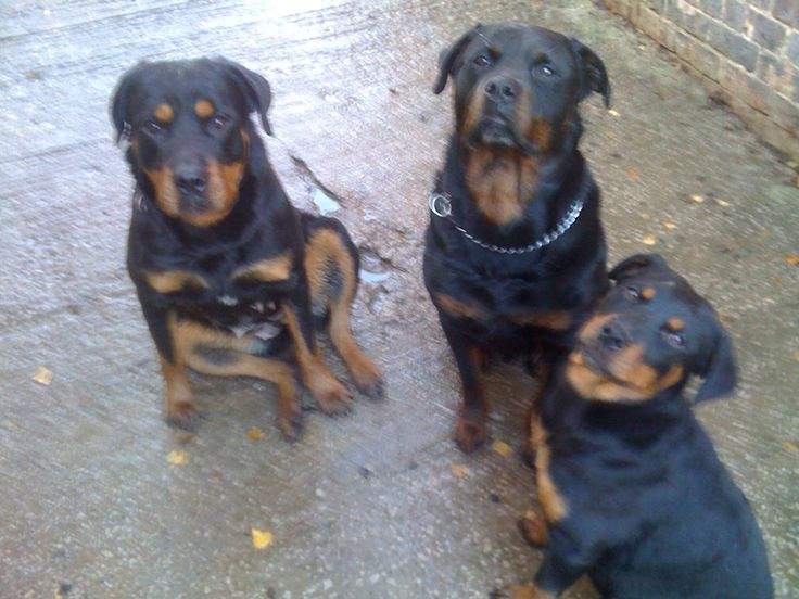 Training Your Rottweiler To Listen To You