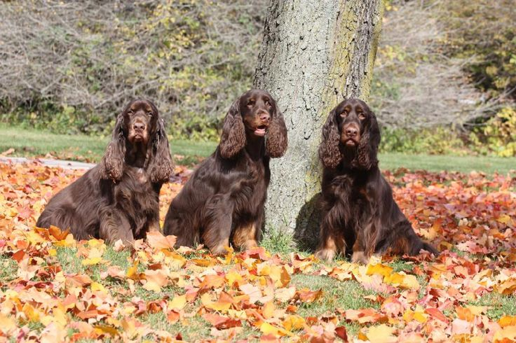 Field Spaniel ~ Classic Look & Trim ~ Calicos Childs Play