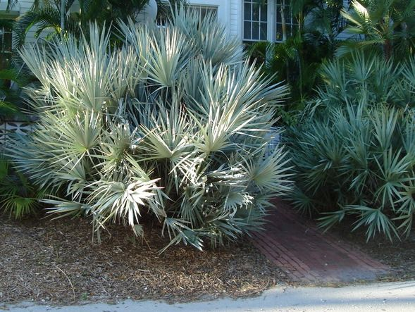Silver Saw Palmetto Serenoa Repens Cinerea Florida