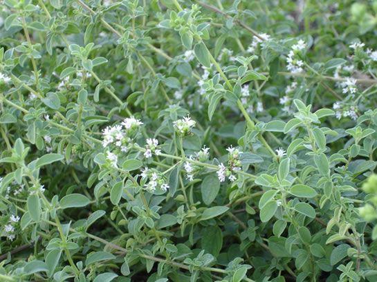 A manjerona é uma erva que não possui nenhuma contraindicação e traz benefícios imensos! Conheça suas propriedades e como ingeri-la.
