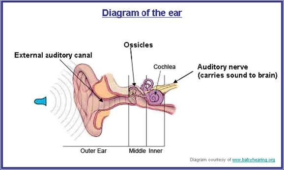 How Sound Travels Through The Ear - Google Search