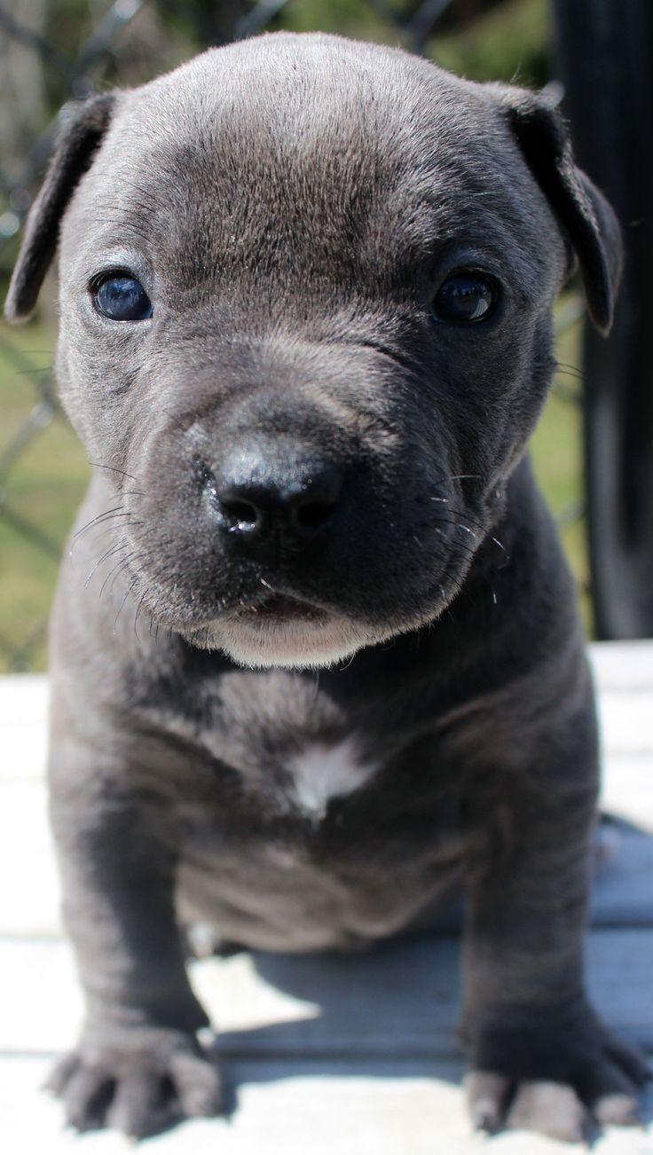 Amazing blue pitbull puppy female. puppy dogsofinstagram