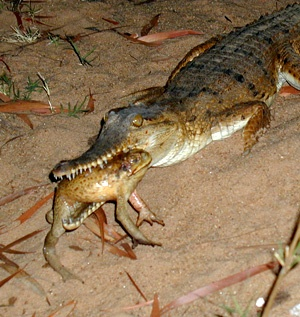 Cane toads killing Australian crocs | COSMOS magazine